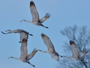 Sandhill Cranes on a crisp December Morning by Dave Inman