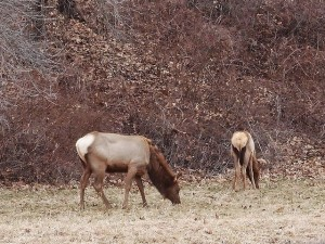elk butts