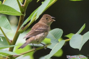 indigo bunting female by Henry T. McLin