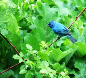 indigo bunting in the rain