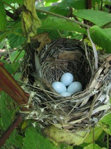 indigo bunting nest by Richard Bonnett