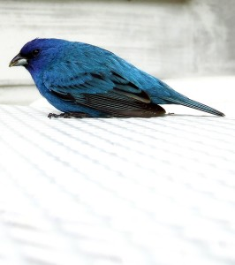 indigo bunting resting on an outdoor table