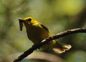 Hooded warbler female by Joby Joseph