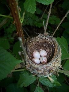 Hooded warbler nest by Richard Bonnett