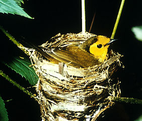 Hooded warbler on nest by USFWS