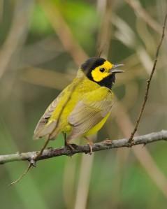 Hooded warbler singing by JanetandPhil