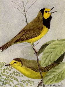 Male and Female hooded warbler by Louis Agassiz Fuertes, 1917