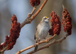White-throated sparrow with staghorn sumac fruit