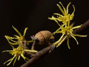 witch-hazel fruit and flowers