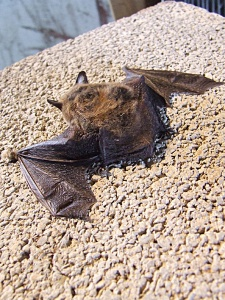 Close-up of the little brown bat in the previous photo