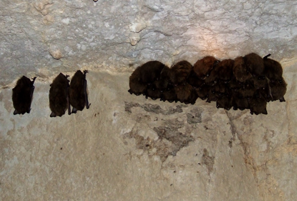 Little brown bats hibernating at Woodward Cave in central PA, February 2006