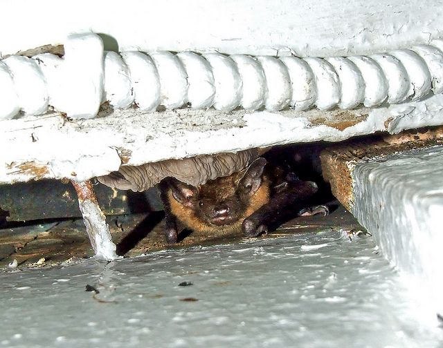 little brown bat in a crack on the side of a house