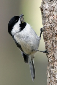 Carolina chickadee feeding its young