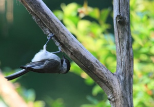 Carolina chickadee upside down