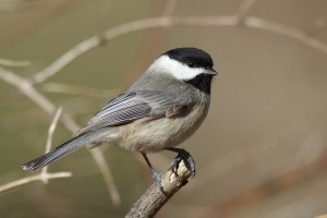 A Carolina chickadee in Codorus State Park