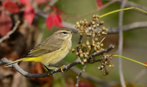 A western palm warbler in fall plumage