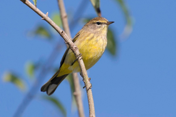 A yellow palm warbler in fall plumage