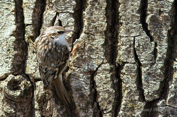 A brown creeper is camouflaged against a tree in Quebec