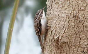 A brown creeper on a tree in Chester County, PA