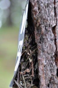 A brown creeper nest in the bark of a tree