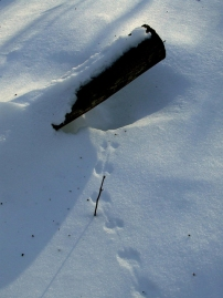 The tracks of a mouse near its burrow