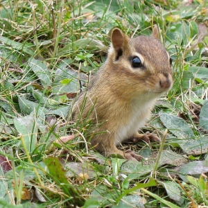 Chipmunk emerging from its two-inch burrow on January 21, 2008