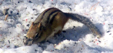 Chipmunk eating birdseed in the snow in March 2015