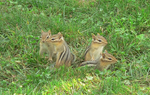 Chipmunk youngsters photographed on a lawn at Skeleton Lake in Ontario