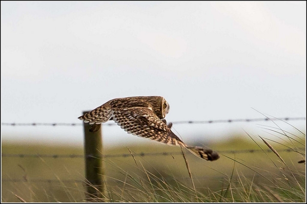 A short-eared owl in flight, filling a camera lens
