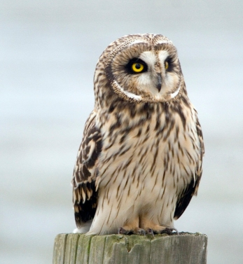 A short-eared owl that has landed on a post