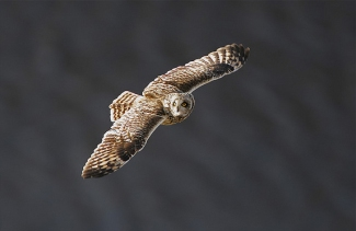 A short-eared owl flying overhead