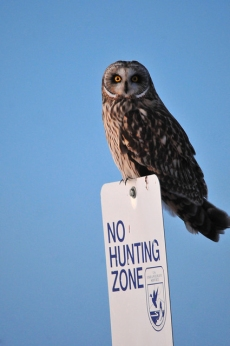 A short-eared owl at the Seedskadee National Wildlife Refuge in Wyoming