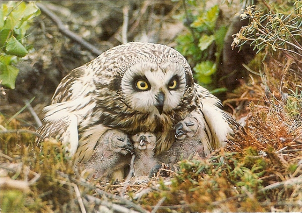 Short-eared owl female with nestlings huddled beneath her