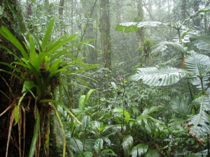 The Rio Negro cloud forest of Honduras, with large trees, epiphytes, and thick vegetation about 4800 feet elevation