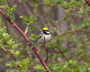 The slight blush of yellow on the chest, and the bird singing a blue-winged song, provided good evidence of a golden-winged hybrid with a blue-winged warbler to the photographer