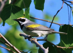 A golden-winged warbler from the sub-population in Minnesota/Wisconsin