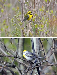Fertile hybrids of the golden-wings, the Lawrence's warbler, upper image, and Brewster's warbler, lower
