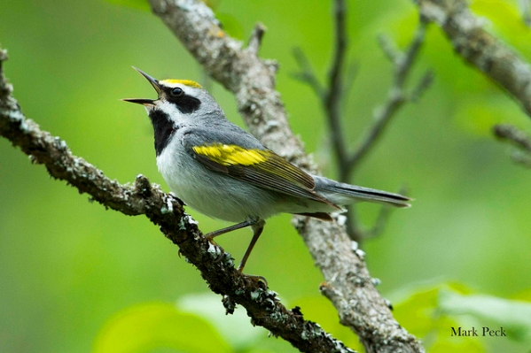 "A golden-winged warbler singing his ""bee, bzz, bzz"" song in Ontario"