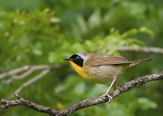 A common yellowthroat in Chester County, Pennsylvania