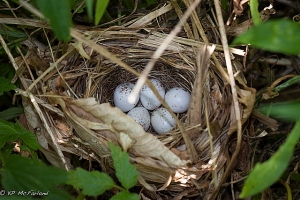 A common yellowthroat nest
