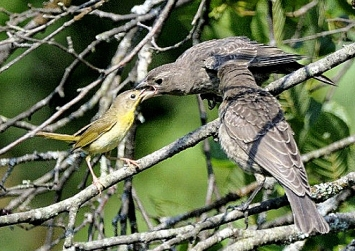 A common yellowthroat female feeding a brown-headed cowbird fledgling