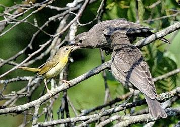 A common yellowthroat female feeding a brown-headed cowbird fledgling