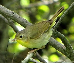 A female common yellowthroat