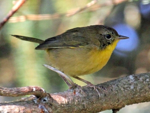 A juvenile male common yellowthroat, which learns its calls by listening to adult males