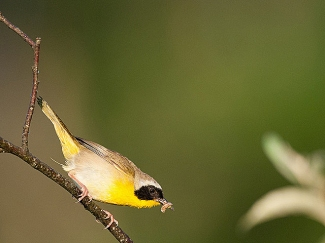 A male common yellowthroat preparing to feed its nestlings