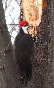 Another pileated male excavating a nest hole