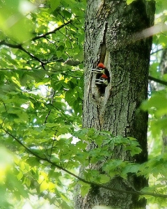 Pileated chicks looking out of a nest cavity in Margaret's Woods
