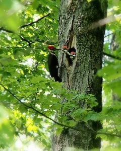 A pileated feeding its chicks
