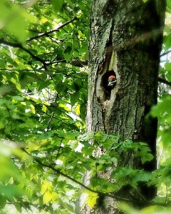 Rachel and Dave saw a young pileated peering out of a hole in Margaret's Woods, May 2012