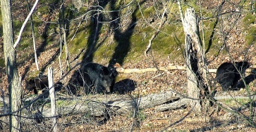 A bear family photographed by Dave in Plummer's Hollow.